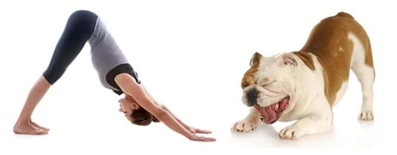 Tư thế chó cúi đầu có tác dụng thúc đẩy quá trình tuần hoàn máu lên não
